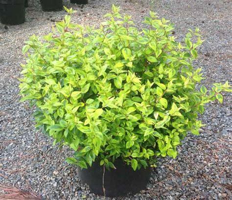 popular landscape plants abelia kaleidoscope turtle creek nursery specialty plants and landscaping supplies