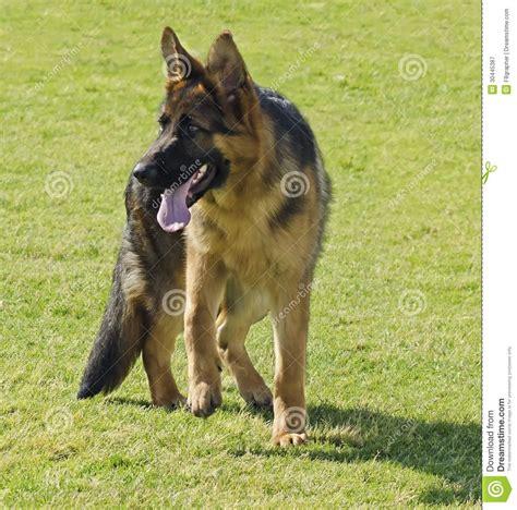 german shepherd dog royalty  stock photography image