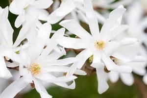 Magnolie Blüht Nicht : sternmagnolie diesen standort mag sie am liebsten ~ Buech-reservation.com Haus und Dekorationen