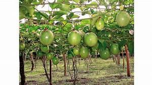 Agronomia_UMOAR : Cultivo del Maracuyá Amarillo