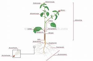 Aufbau Einer Blume : pflanzenreich pflanze aufbau einer pflanze bild bildw rterbuch ~ Whattoseeinmadrid.com Haus und Dekorationen