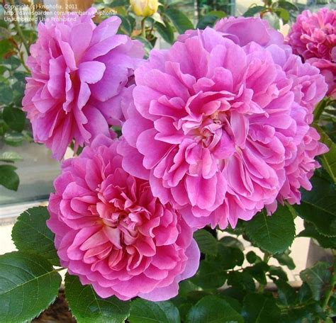 plantfiles pictures english rose austin rose princess