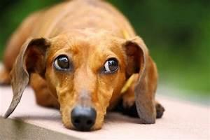 Dachshund Or  U201csausage Dog U201d Health And Wellness