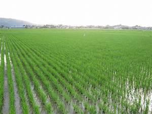 CNSK: Rice field in Japan