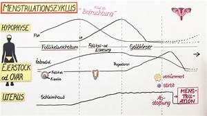 Zyklus Frau Berechnen : menstruation der weibliche zyklus basiswissen biologie online lernen ~ Themetempest.com Abrechnung