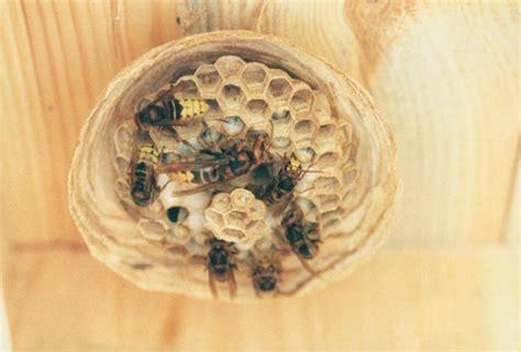Wie Beseitigt Ein Wespennest by Wie Beseitigt Ein Wespennest Best Fressende Wespen