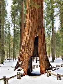 Giant Sequoia Trees California