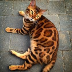bengal tiger cat quot tiger quot cat like no other is taking the
