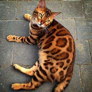 """Incredible """"Tiger"""" Cat Like No Other Is Taking The ..."""