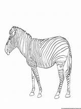Coloring Zebra Pages Printable Boys Activity Paint Few Below sketch template