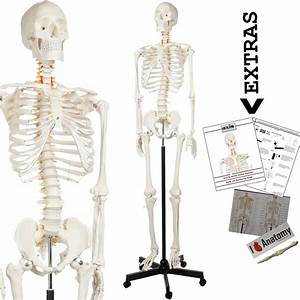 Axis Scientific Human Skeleton Model Anatomy Bundle  5 U0026 39  6
