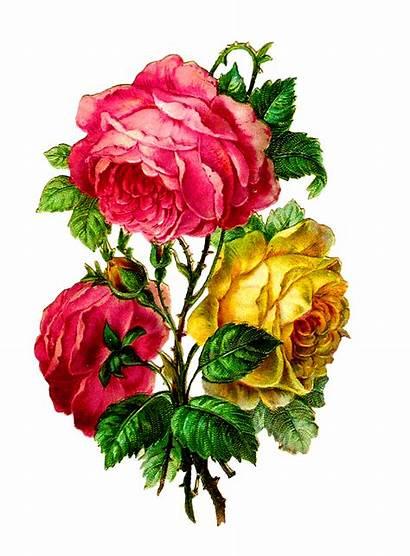 Flower Rose Clip Scrapbooking Camellia Roses Antique