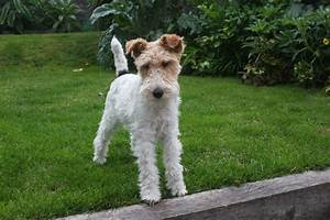 Wire haired Fox Terrier | Belfast, County Antrim | Pets4Homes
