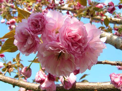 ornamental cherry tree varieties the amazing beauty of ornamental cherry trees home decoration ideas