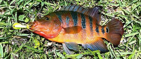 fish exotic world species  florida canals