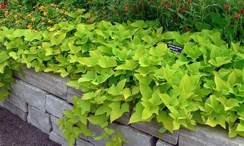 Decorative Potato Plant - sweet potato vine grow and care for ipomoea batatas
