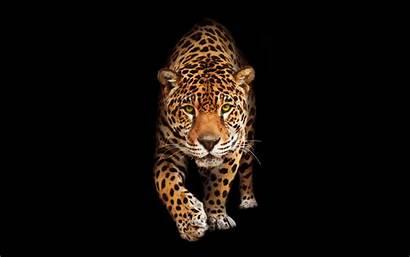 Jaguar Wild Cat Wallpapers Cats Wildlife Animal