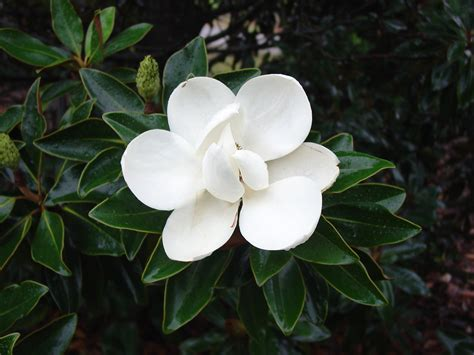 varieties of magnolia trees dwarf magnolia tree types www imgkid com the image kid has it