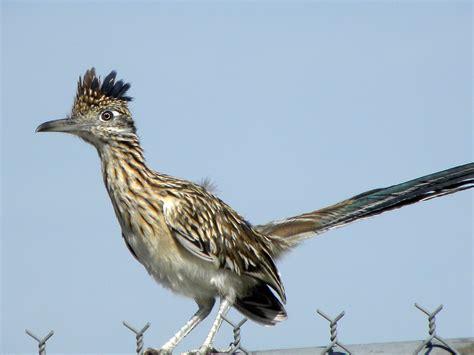 new mexico state bird morning bray farm