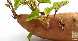 Patate Douce Plante : podcast cultiver la patate douce permaculture and gardens ~ Dode.kayakingforconservation.com Idées de Décoration
