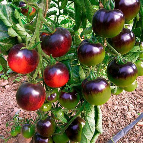 tomatensamen indigo rose  kaufen bei gaertner poetschke