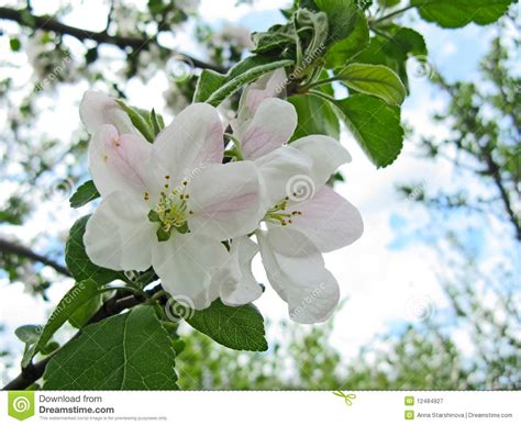 Spring Flowering Of Fruit Trees Stock Image  Image Of