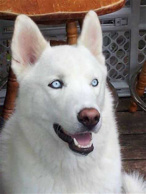 White Alaskan Malamute / all dogs - Juxtapost