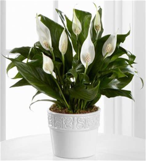 tanaman hias ruangan bibit