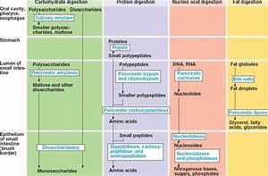 digestive system enzymes Homeschool Pinterest