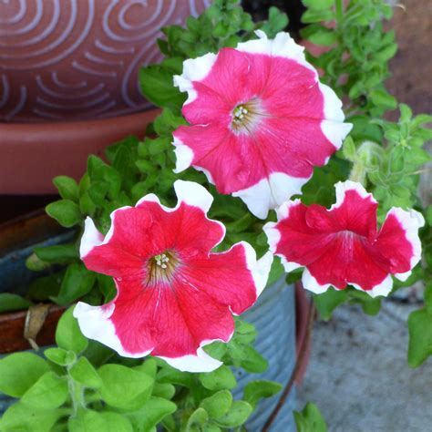 caring for petunias in pots how to grow petunias in containers