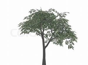 Baum Mit Weißen Blüten : baum mit bl ttern komplett auf einem wei en hintergrund ~ Michelbontemps.com Haus und Dekorationen