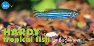 freshwater tropical fish species profile zebra danio hardy tropical fish for beginners
