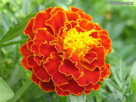 pictures of marigold flowers a z of the plant kingdom part 45