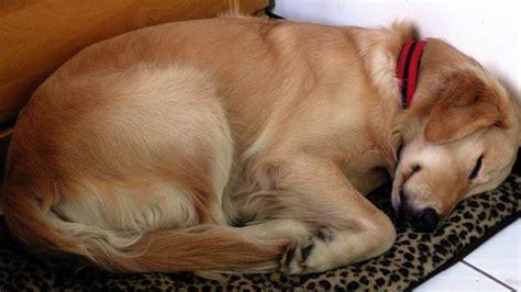 Funny Sleeping Dog