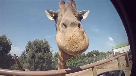 zoosafari fasano italia animali  video  gopro youtube