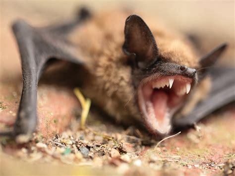 dead bat   walmart bagged salad prompts rabies
