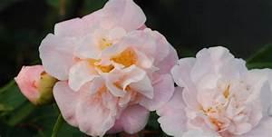 Arbustes Décoratifs à Fleurs : arbustes persistants d coratifs toute l 39 ann e pr s de ~ Premium-room.com Idées de Décoration