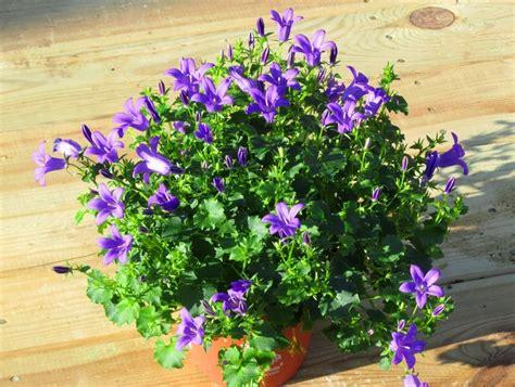 balkonpflanzen  bestellen auf rechnung