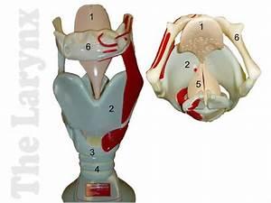 Respiratory System Larynx