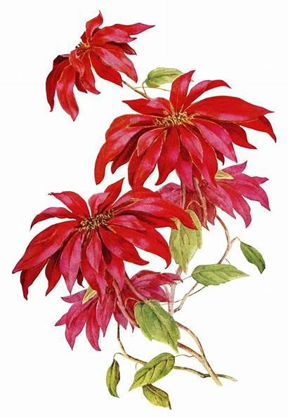 Poinsettia Flower Clipart Olddesignshop Backgrounds Floral Decoupage