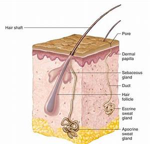 Chapter 06 - Integumentary System