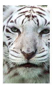 Everything About Animals and Beautiful Beaches: White Tiger