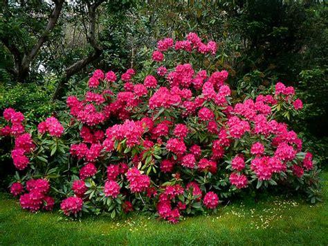 rhododendron photos nova zembla rhododendron for sale the tree center