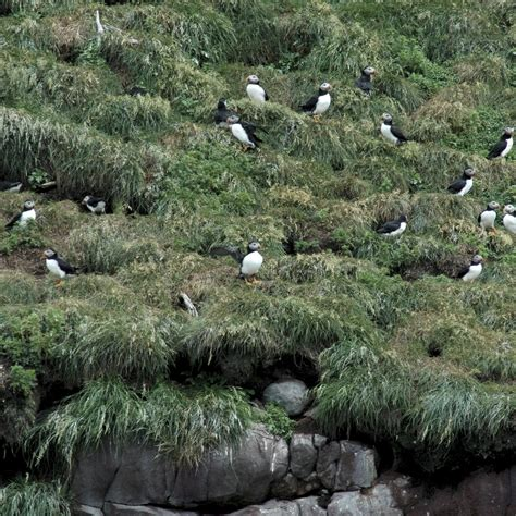 a calgary birder puffins and petrels in peril