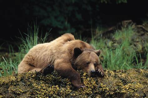 wallpaper bear cute animals sleep  animals