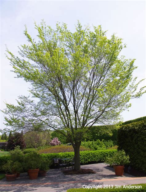 small shade trees smaller shade trees to consider for your garden