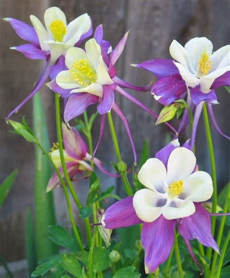 columbine the flower lizzie s logic plant of the week