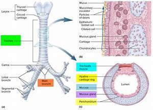 Trachea - Anatomy  U0026 Function