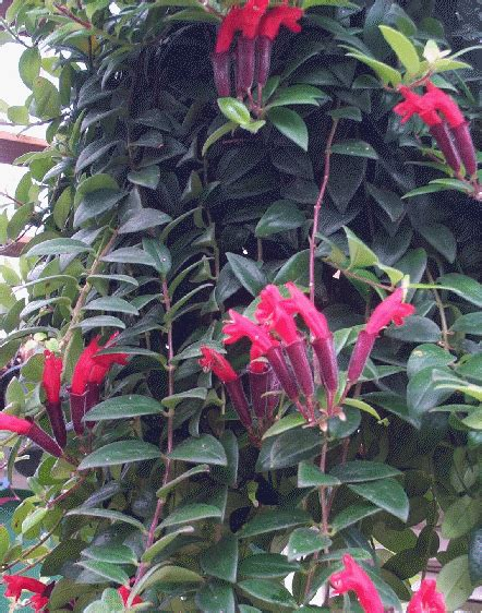 lipstick plant care indoors lipstick plant just got some cuttings from my sister hope they really take off interesting