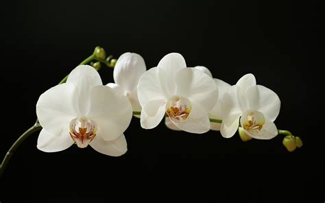 the orchid orchids wallpaper 45358